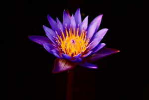 purple_lotus_flower