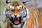 harimau KWA