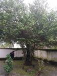 pohon gandrik